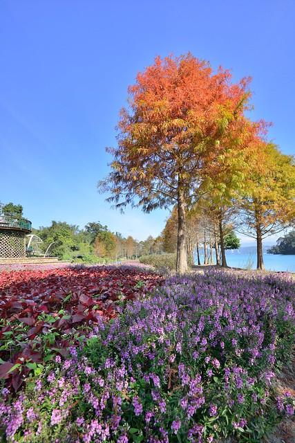 Plumeria pine, Sun Moon Lake日月潭落雨松