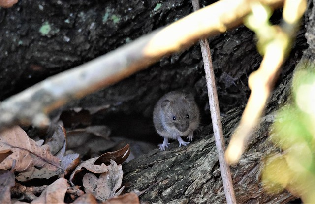 The watching Woodmouse.