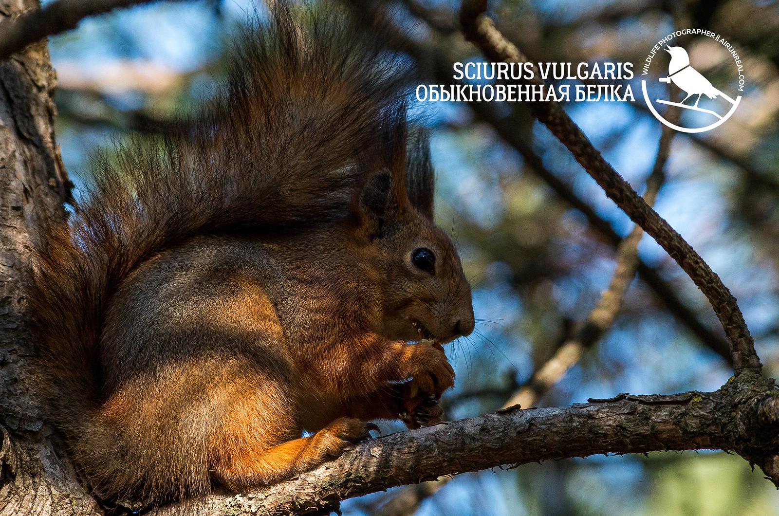 Sciurus vulgaris // 20171215