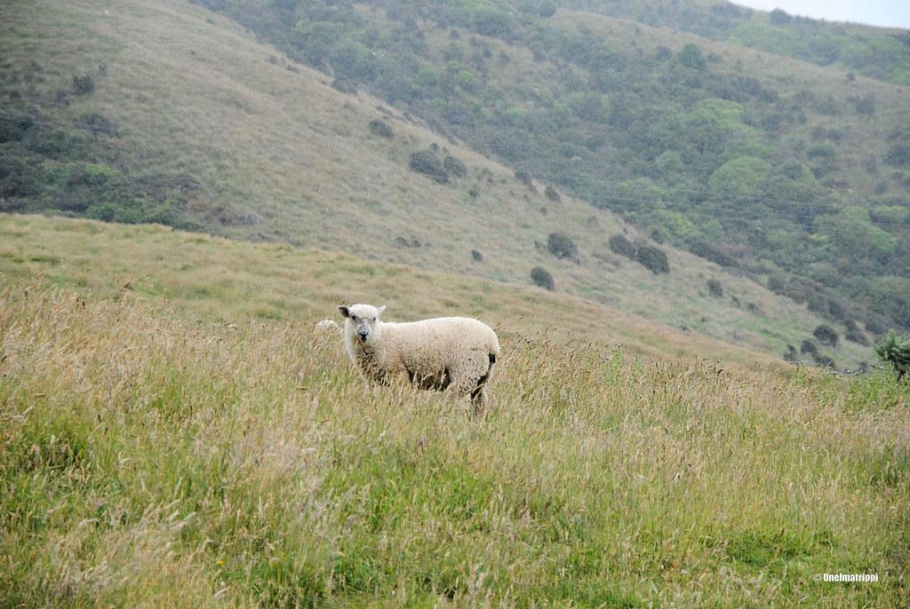Lammas, Uusi-Seelanti