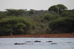 Kruger National Park - Hippos