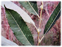 Leaves of Salix discolor (American Pussy Willow, American Willow, Large Pussy Willow, Pussy Willow, Glaucous Willow) that are coloured green above and downy grey-white beneath, 4 Jan 2018
