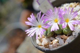 "DSC_6276 Conophytum fulleri ""Pella"" コノフィツム フレーリー ペラ"