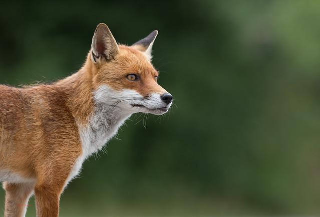 46 fox - Best2017