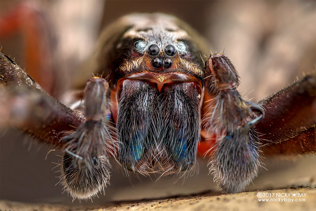 Wandering spider (Ctenus sp.) - DSC_3051b