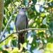 Gray Catbird por Becky Matsubara