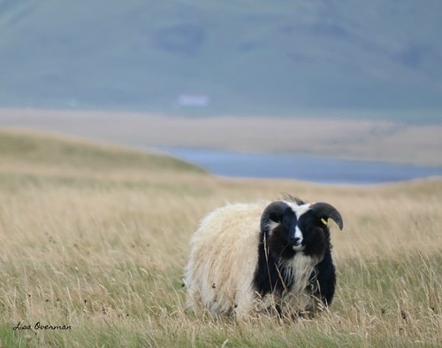 A sheep in Southern Iceland. From Healing Through Love: The Journey of Rediscovering Joy