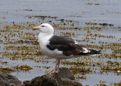 Greater Black-backed Gull Larus marinus