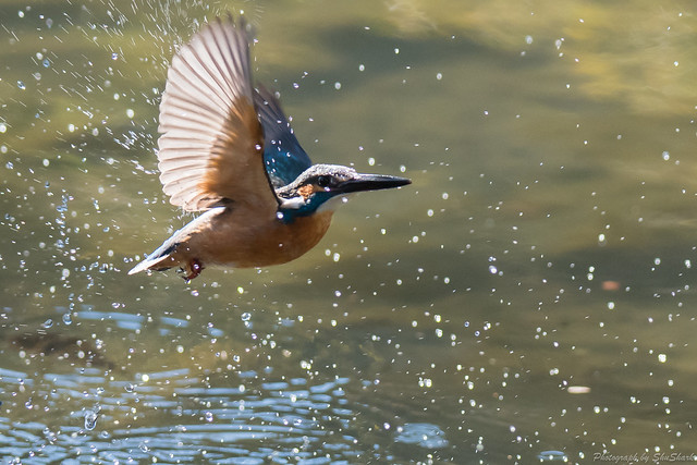 20171225-kingfisher-DSC_2683