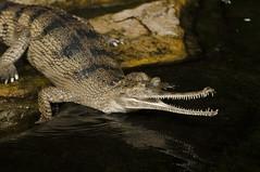 Gavialis gangeticus - Gharial