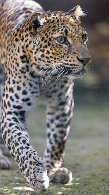 Javan leopard walking, Nikon D5, AF-S VR Zoom-Nikkor 200-400mm f/4G IF-ED