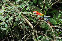 Scarlet Macaw (Ara macao) in Yasuni National Park at Río Napo, some distance from Sacha Lodge, Ecuador.   Seen during a birding trip organized by Field Guides Inc.