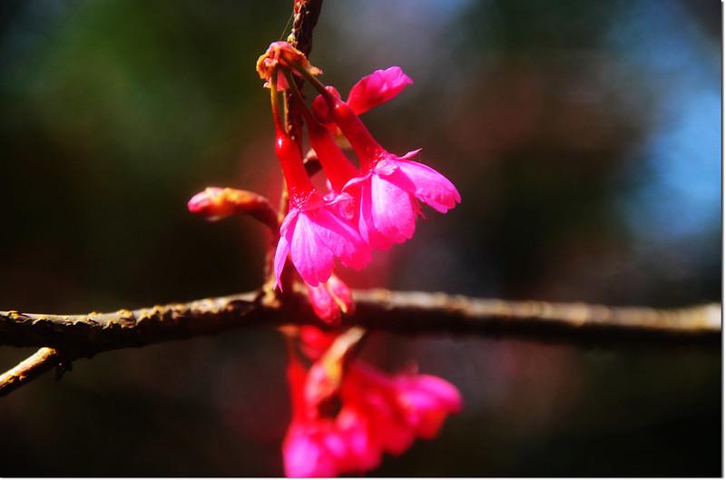 五公廟的山櫻花 3