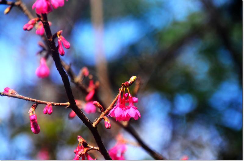 五公廟的山櫻花 1