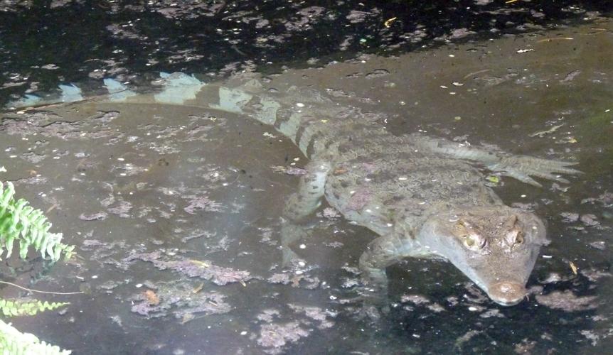 Crocodylus mindorensis 38864421334_ec1fec74e6_o