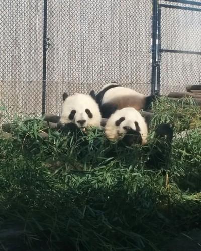 Er Shun, Jia Panpan, Jia Yueyue (6) #toronto #torontozoo #pandas #giantpandaexperience #ershun #jiapanpan #jiayueyue #bamboo #latergram