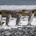 On board of Hebridean Sky,  Salisbury Plains, King Penguins 11-6-2017 1-26-57 PM by solomon.trainin