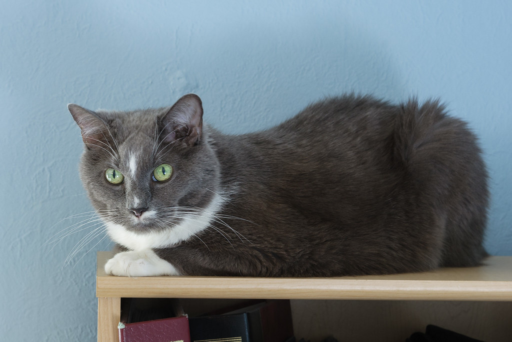 Our gray tuxedo cat Templeton rests atop my bookcase