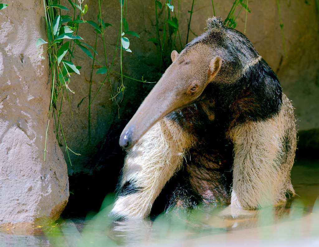Giant Anteater_2