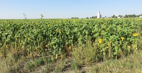 Southeastern Wyoming Sunflower Field (Albin, Wyoming)