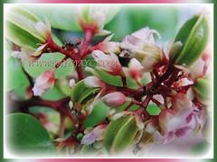 Captivating pink to lavender coloured 5-petaled flowers of Averrhoa carambola (Star Fruit, Starfruit Carambola, Caramba, Country Gooseberry, Belimbing Manis in Malay), 31 Dec 2017