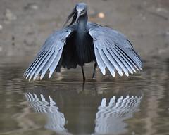 Black Egret, Kotu Creek, Gambia