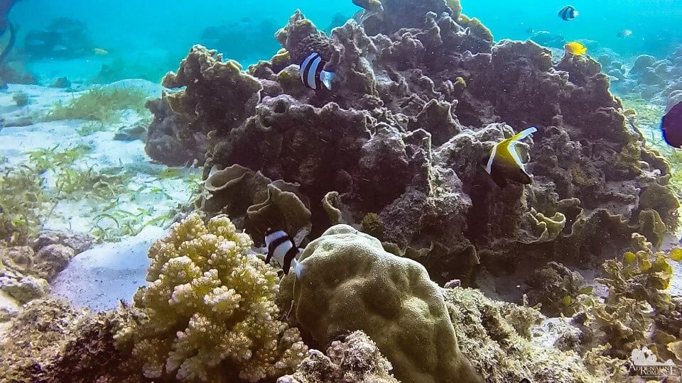 banded_butterflyfish_and_angelfish