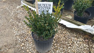 Buxus Winter Gem 3 gal 12-15 | by Johnson Farms