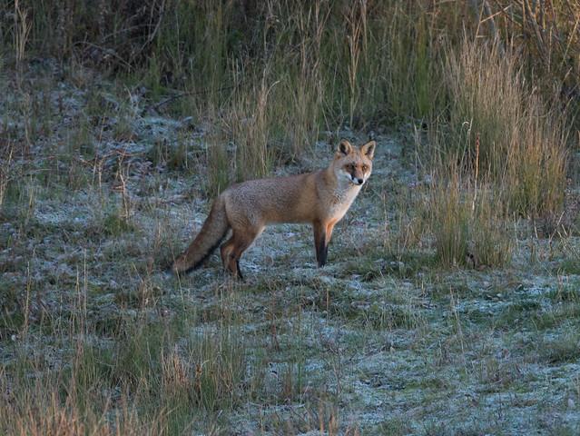 Fox - fosty morning