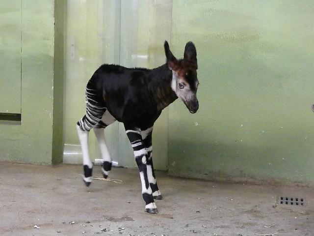 Okapi-Baby