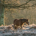 New forest pony in frost