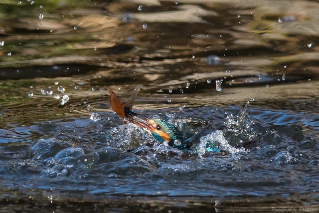 20171223-kingfisher-DSC_1231