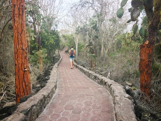 The paved trail through cactus trees to Tortuga Bay, Santa Cruz, Galapagos