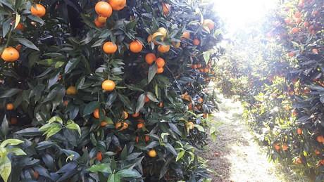 ladri di arance