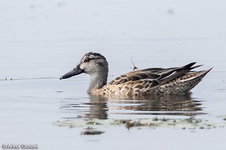 Garganey - female-plumaged