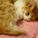 9. Gato durmiendo en el Neko Café que estuvimos en Japón