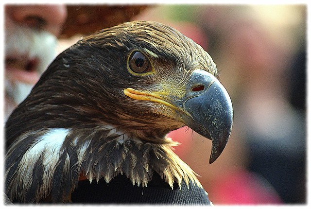 Golden Eagle Release - Sony DSLR-A300 with Sony 75-300mm 1:4.5-5.6 Zoom
