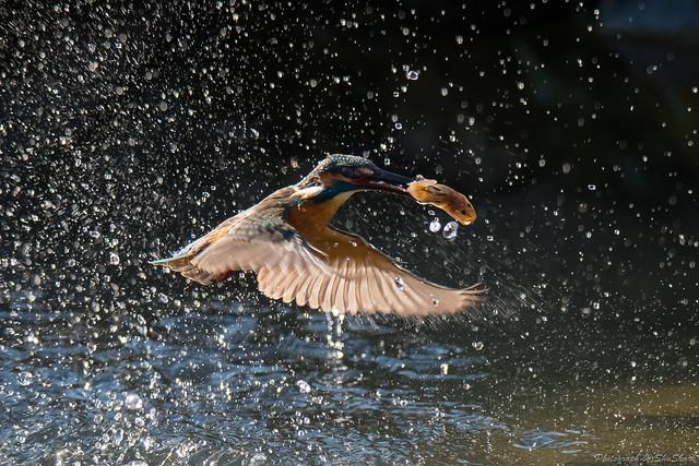20171223-kingfisher-DSC_1377