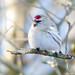 Coues's Arctic Redpoll-7130