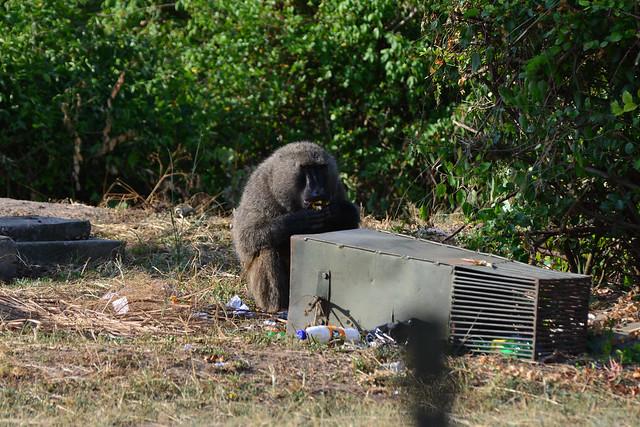Baboon scavenging in Queen Elizabeth national Park