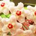 Clepia o Flor de la cera (Hoya carnosa)