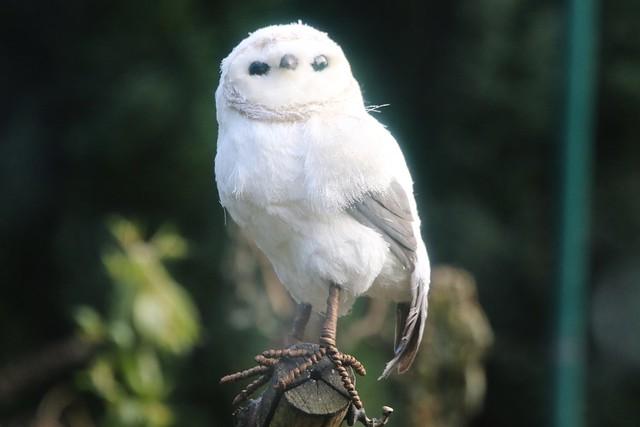 Barn Owl in my, Canon EOS 7D MARK II, Canon EF 400mm f/4 DO IS