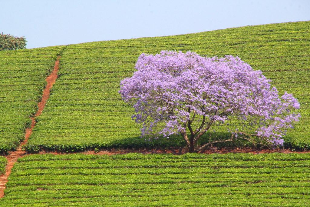der violette Palisanderbaum fehlt noch in Ihrem schönen Garten !