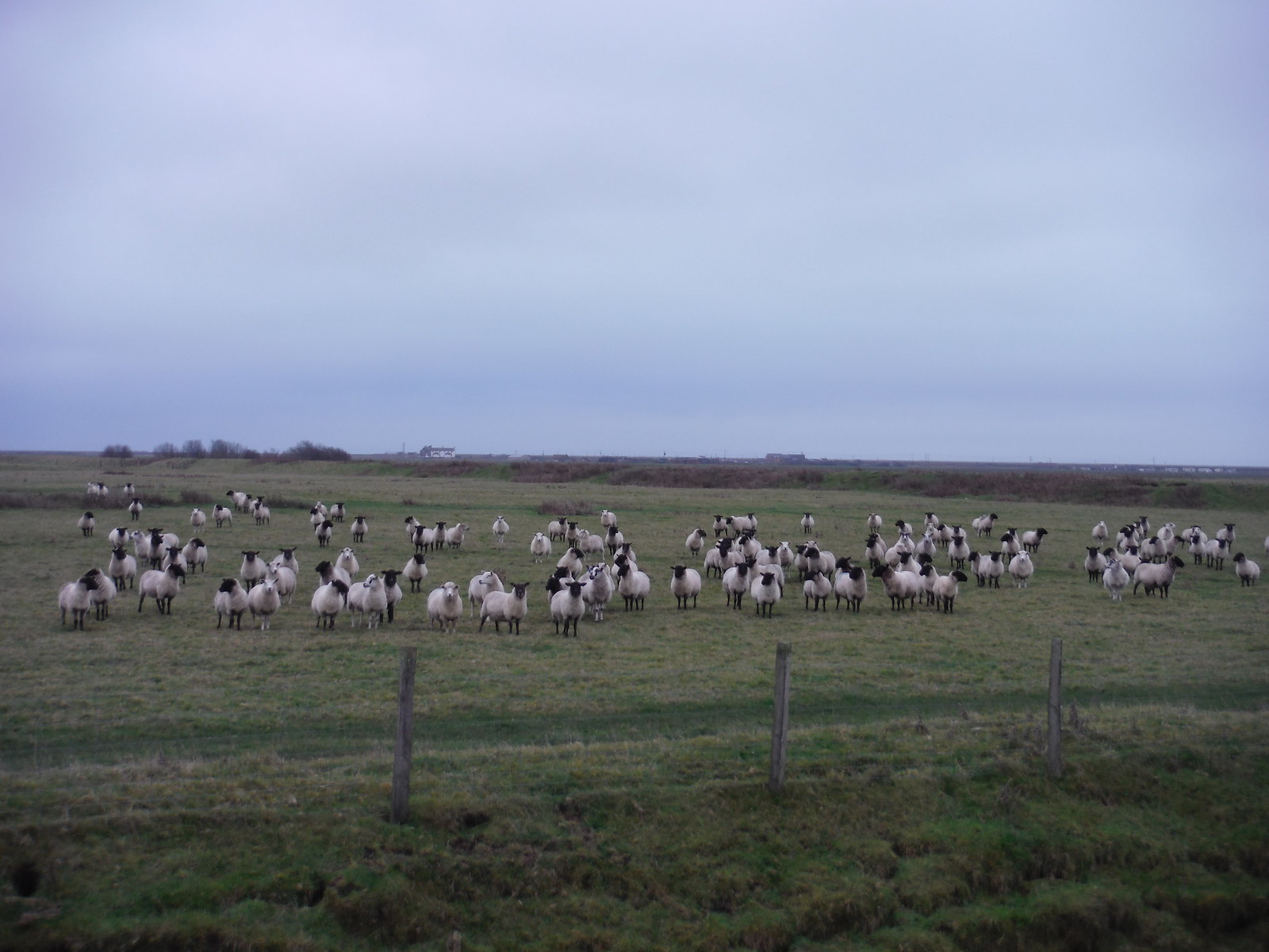 Sheep in Marsh SWC 154 - Rye to Dungeness and Lydd-on-Sea or Lydd or Circular (Rye Ending)