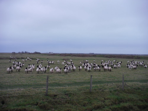 Sheep in Marsh
