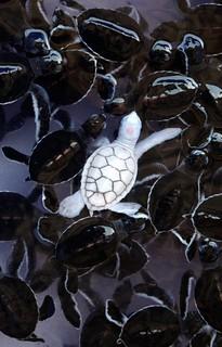 albino kaplumbağa