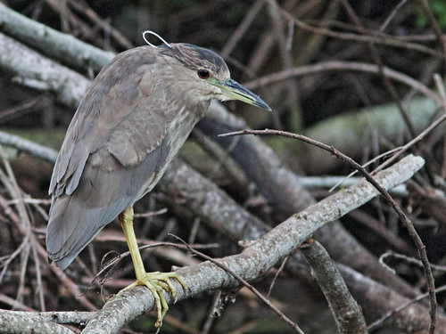 Black-crowned Night-Heron 20171228