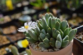 DSC_6852 Conophytum blandum コノフィツム ブランダム