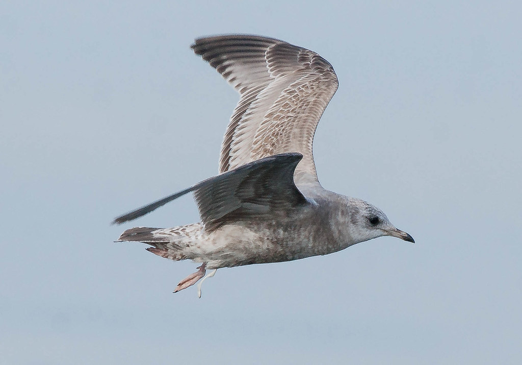 Gull (1 of 1)