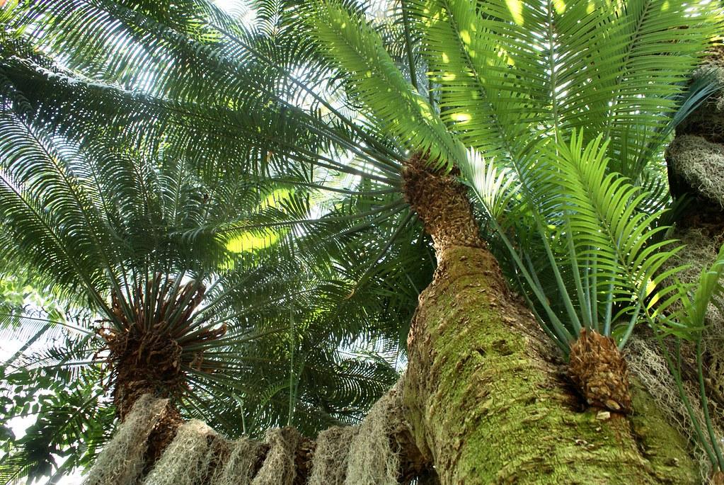 Palmiers dans les serres du jardin botanique de Lyon au parc de la Tête d'or.